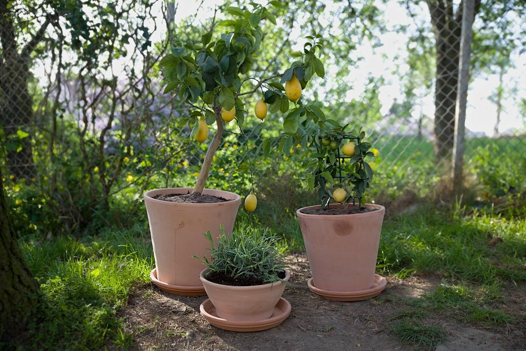 citronovniky-pestovani