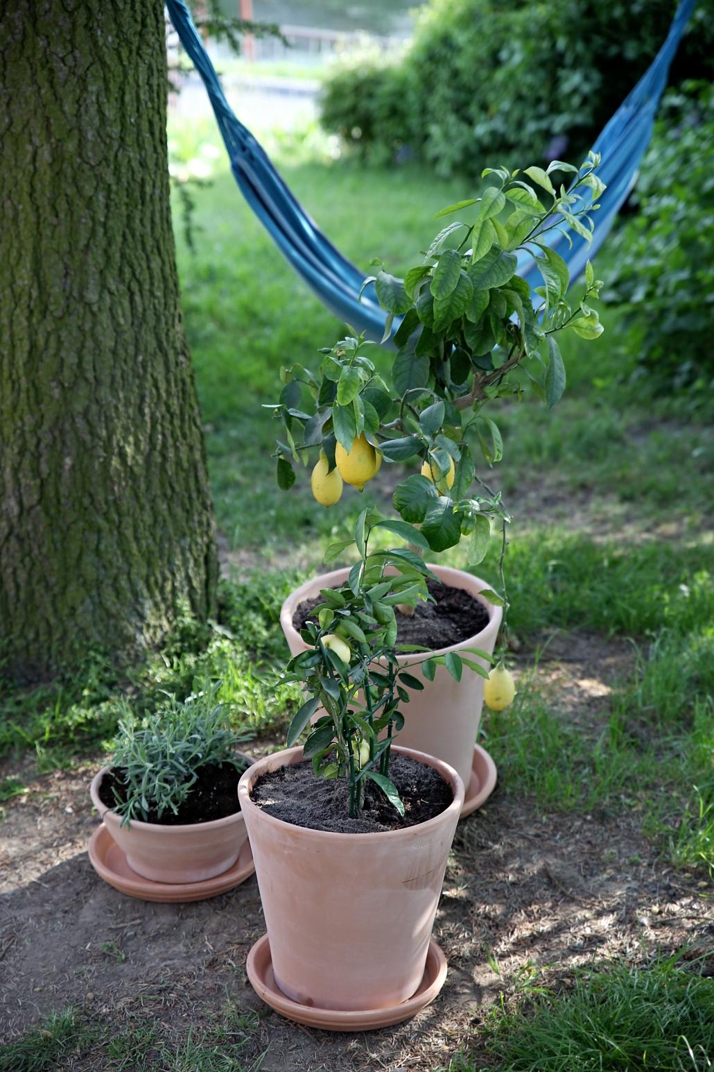 pestovani-citronu
